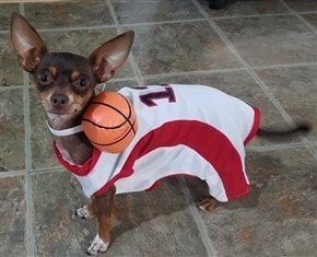 Chihuahua in basketball player costume