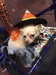 hihuahua-witch-halloween-costume