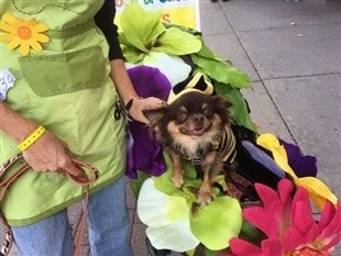 bee-costume-on-chihuahua-for-halloween