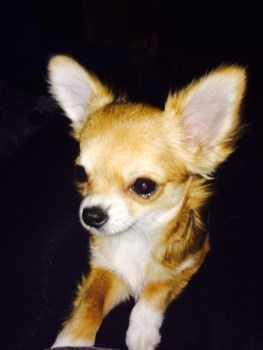 Chihuahua puppy 504