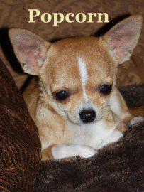 Chihuahua-01