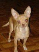 Chihuahua-04