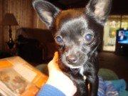 Chihuahua-11