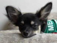 Chihuahua-014