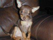 Chihuahua-18
