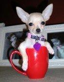 Chihuahua-20