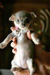 11 week old Chihuahua