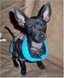 Chihuahua big ears
