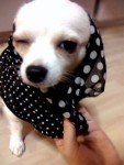 putting clothes on Chihuahua