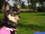 Chihuahua profile