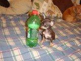 Very tiny Chihuahua