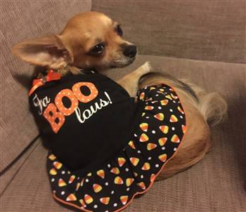 Chihuahua in Halloween dress