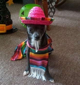 chihuahua-in-mexican-costume