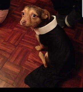 Chihuahua in priest costume
