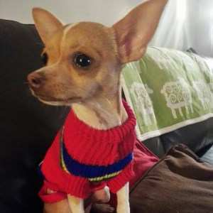 Chihuahua red sweater