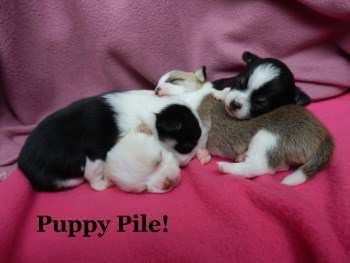 new litter of Chihuahua puppies