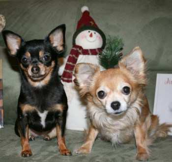 two female Chihuahaus