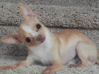 Chihuahua dog 8 years old