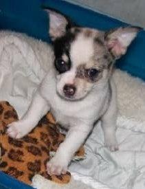alert Chihuahua newborn