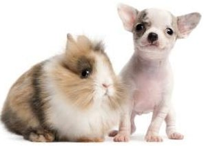 Cute Chihuahua puppy with bunny