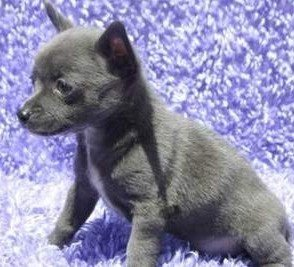 Blue Chihuahua puppy, white markings