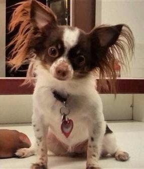 Applehead merle Chihuahua