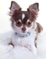 Chihuahua puppy for sale Texas