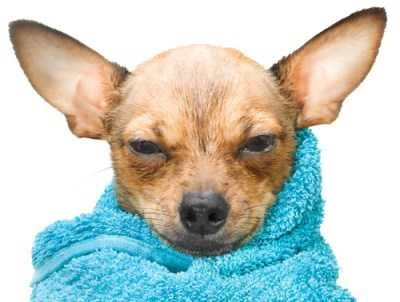 Chihuahua wrapped in towel