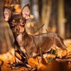 Alert Chihuahua dog