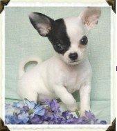 Arkansas Chihuahua Breeder