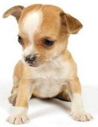 Chihuahua puppy at teething age