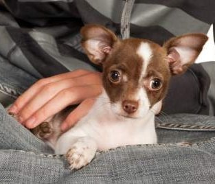 Innocent looking Chihuahua dog