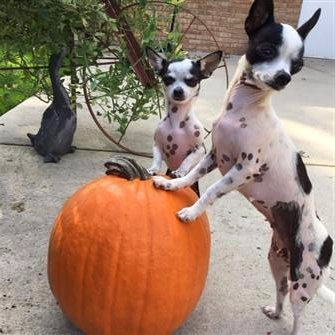 Chihuahuas spotted on white coloring