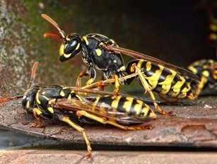 wasps, yellow jacket, two