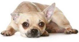 Isolated Chihuahua dog
