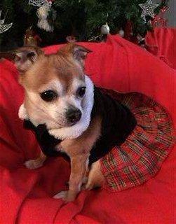 Chihuahua female dress