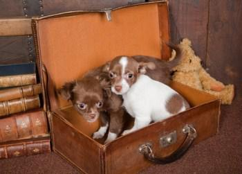 Chihuahua puppies sitting in suitcase