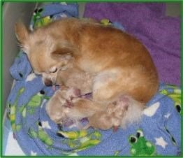 Chihuahua newborn puppies