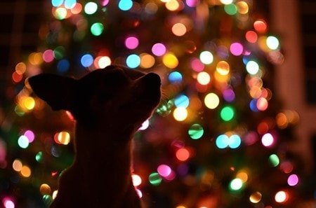 chihuahua-on-christmas-