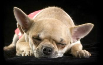 Chihuahua puppy with eyes closed