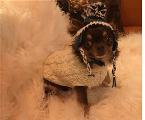 chihuahua-wearing-clothes-