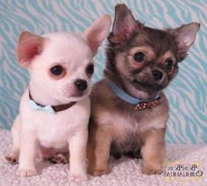 Two tiny Chihuahua puppies