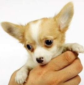 Age of Chihuahua puppy shots