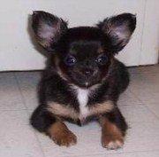 Chihuahua Breeder New York State