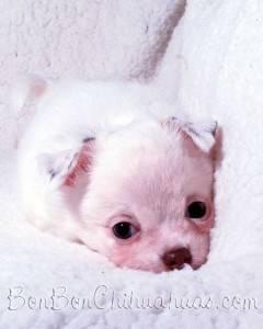 solid white Chihuahua newborn