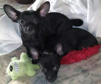 two black Chihuahua dogs