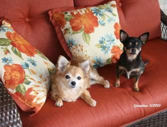two Chihuahuas sitting on sofa