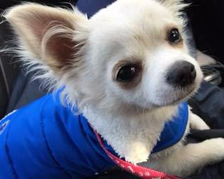 White Chihuahua with blue vest