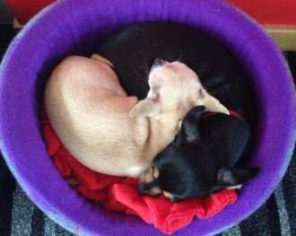 yin yang Chihuahuas