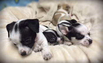 young Chihuahua puppies